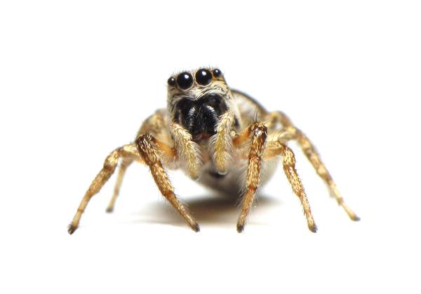 zebra jumping spider female sm