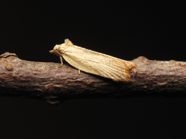 Unknown micromoth