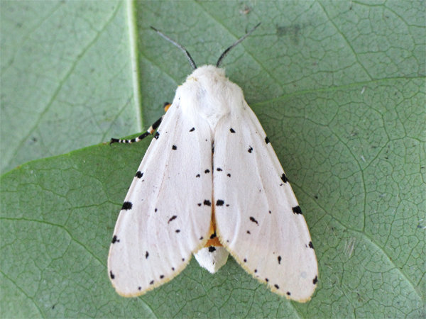 Salt Marsh Moth, Estigmene acrea (#8131)